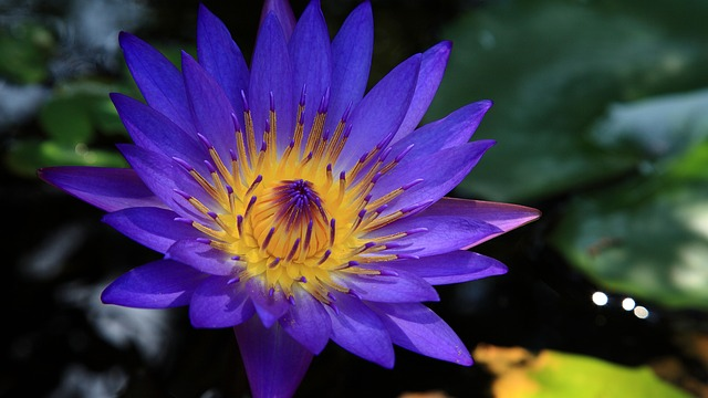 modri lotus absolut modrega lotusa doterra precious florals