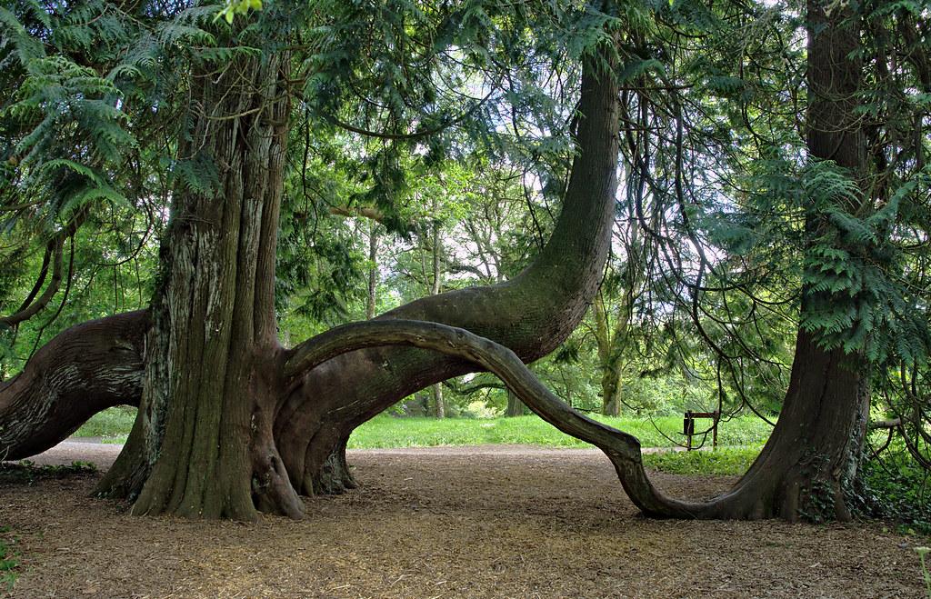 Arborvitae ali eterično olje orjaškega kleka